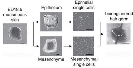 Methods for hair follicle regeneration.